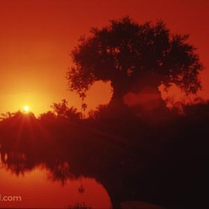 Animal-Kingdom-Tree-of-Life-Sunset