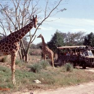 Safari-Giraffes-1