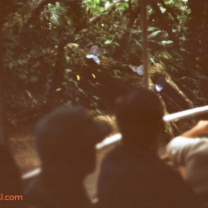 Jungle Cruise Butterflies