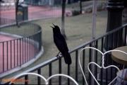 When the crow flies