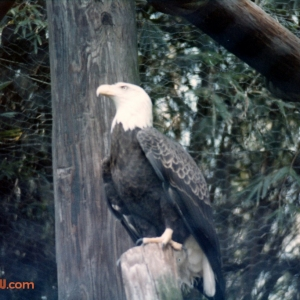 Bald Eagle perched in Eagle's Watch on Discovery Island
