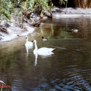 Discovery Island Swans