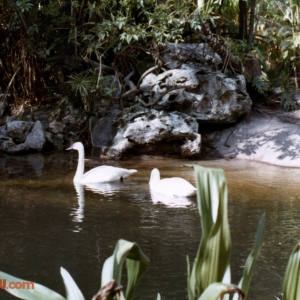 Swans swimming at Discovery Island