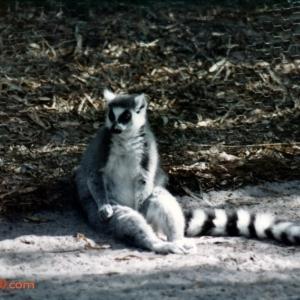 Discovery Island: Ringtailed Lemur
