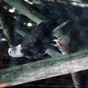 Discovery Island: Bald Eagle