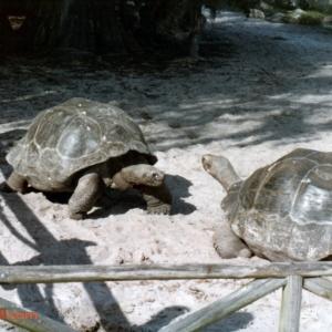 Tortoises on Discovery Island