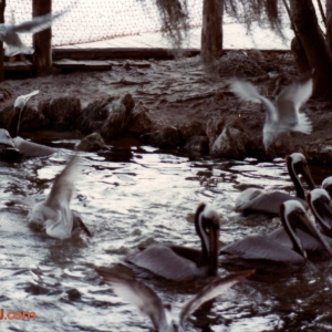 Discovery Island: Pelicans