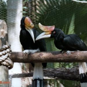 Rhinoceros Hornbills on Discovery Island