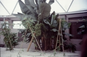 Bananas-Living-With-The-Land-Greenhouse