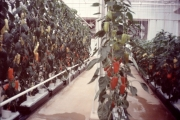Living-With-the-Land-Peppers-Greenhouse