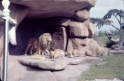 Jungle-Cruise-Lions-October-1975